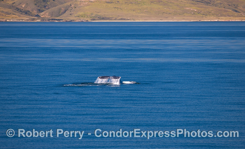 Pacific Gray Whale (Eschrichtius robustus) with Santa Cruz Island in the background.