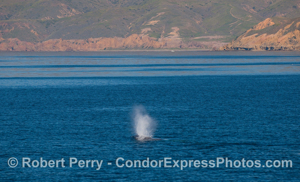 Pacific Gray Whale (Eschrichtius robustus) spouts near the western end of Santa Cruz Island.