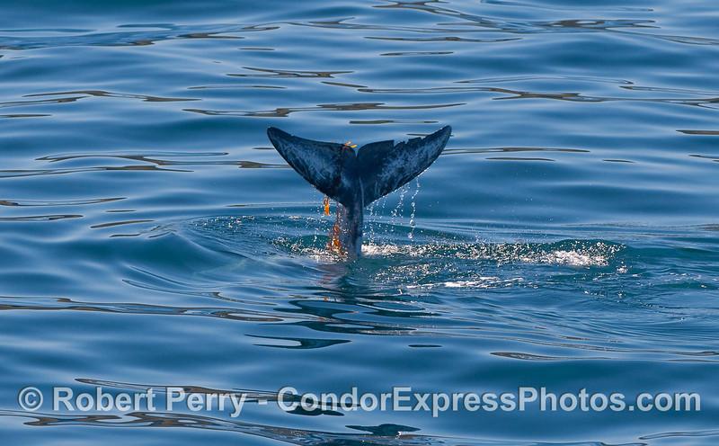 Risso's Dolphin (Grampus griseus) tail fluke draped in Giant Kelp (Macrocystis pyrifera).