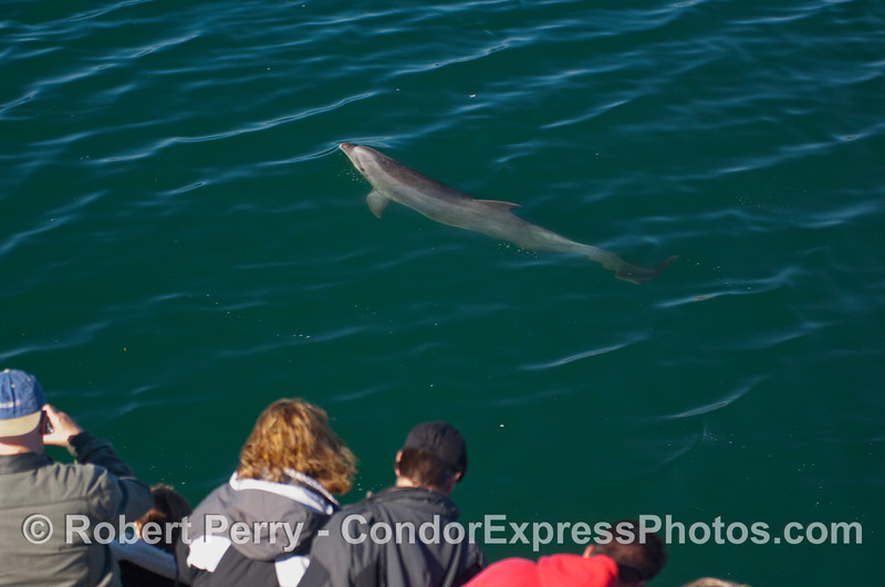 Whalers on the Condor Express get a visit by a curious inshore Bottlenose Dolphin (Tursiops truncatus).