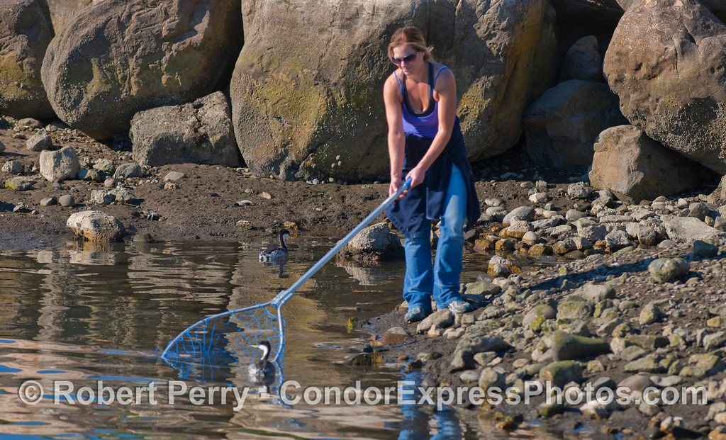 "Wildlife rescue worker ""Cheryl"" attempts to put her net around a Western Grebe (Aechmophorus occidentalis) that is coated with tar from the natural oil seeps in the Santa Barbara Channel."