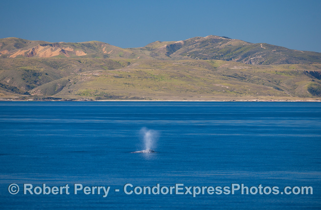 Pacific Gray Whale (Eschrichtius robustus) spouts with the eastern end of Santa Rosa Island in the background.