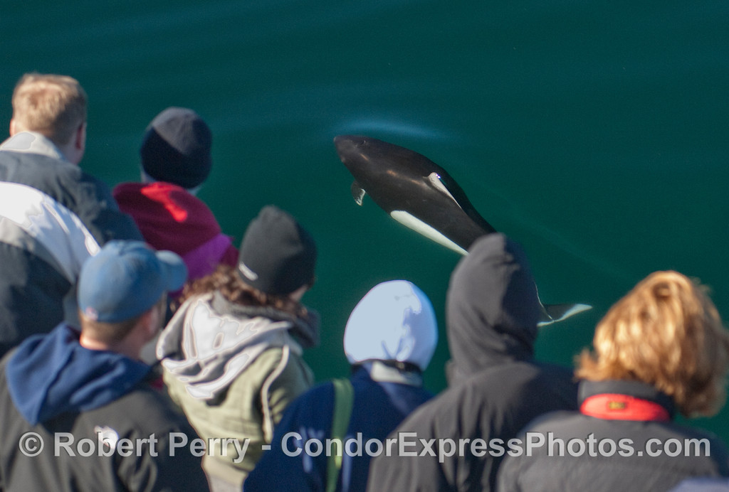 Dall's Porpoise (Phocoenoides dalli) and whalers on the Condor Express.