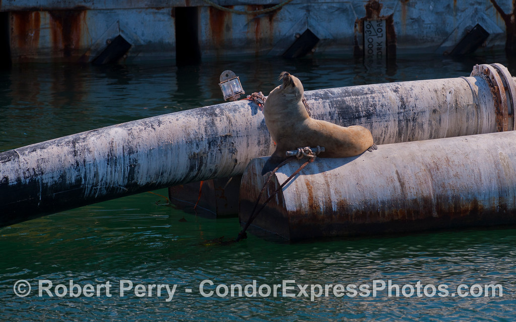 A proud California Sea Lions soaks some sunlight on the Santa Barbara Harbor dredge pipes (Zalophus californianus).