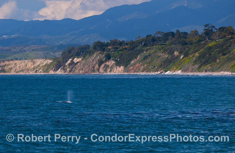 Gray Whale with Santa Barbara bluffs in back (Eschrichtius robustus).