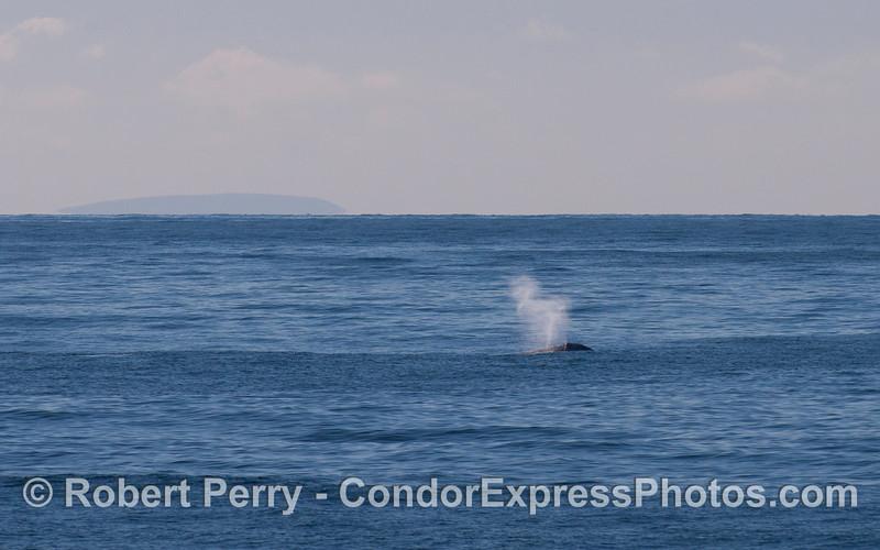Gray Whale offshore (Eschrichtius robustus).