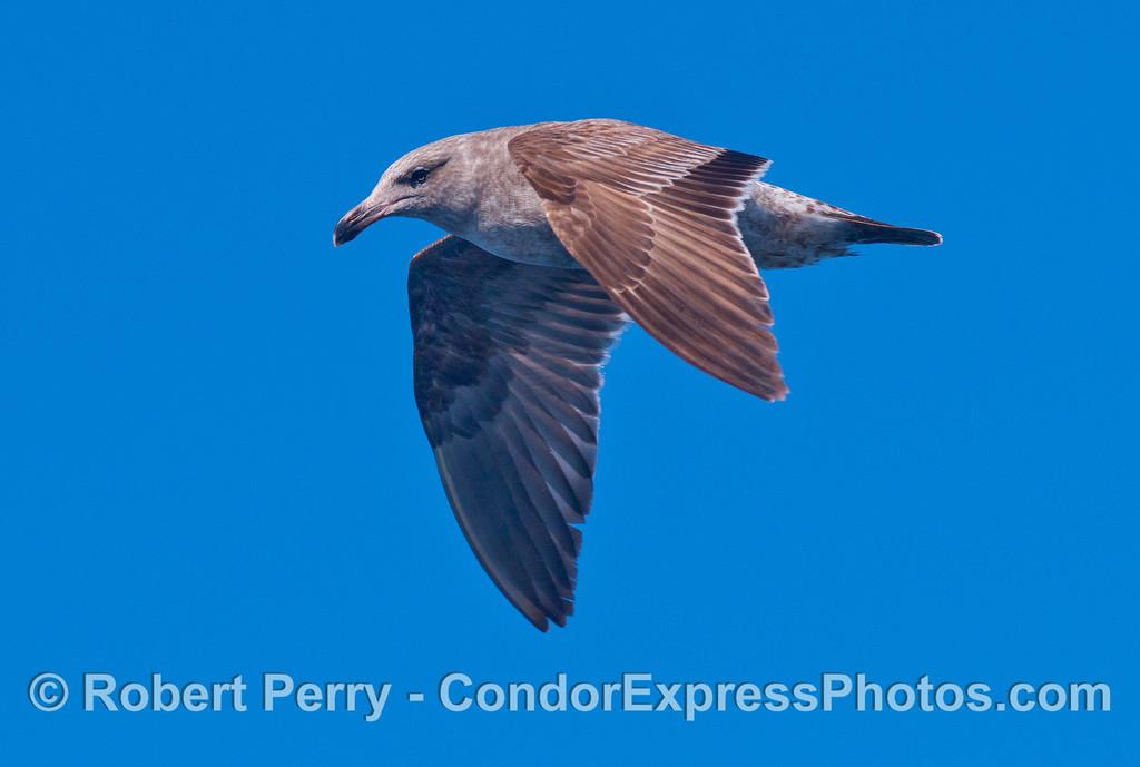 Juvenile Gull (Larus sp).