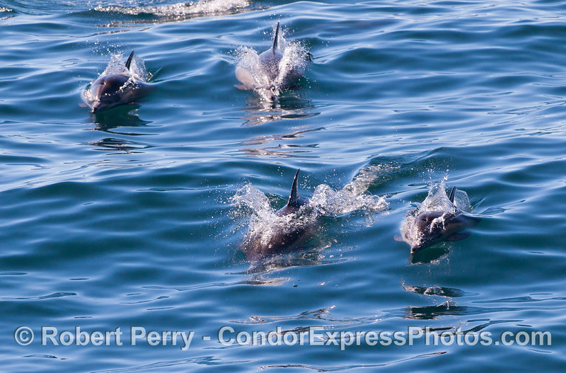 Common Dolphins (Delphinus capensis) coming to the Condor Express to have some fun.