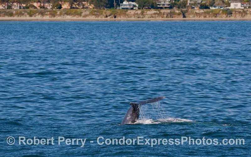 Tail fluke of a Pacific Gray Whale (Eschrichtius robustus) near the coast of Isla Vista, Santa Barbara.
