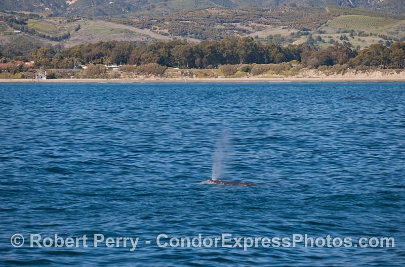 Spouting Pacific Gray Whale (Eschrichtius robustus) near the beach.