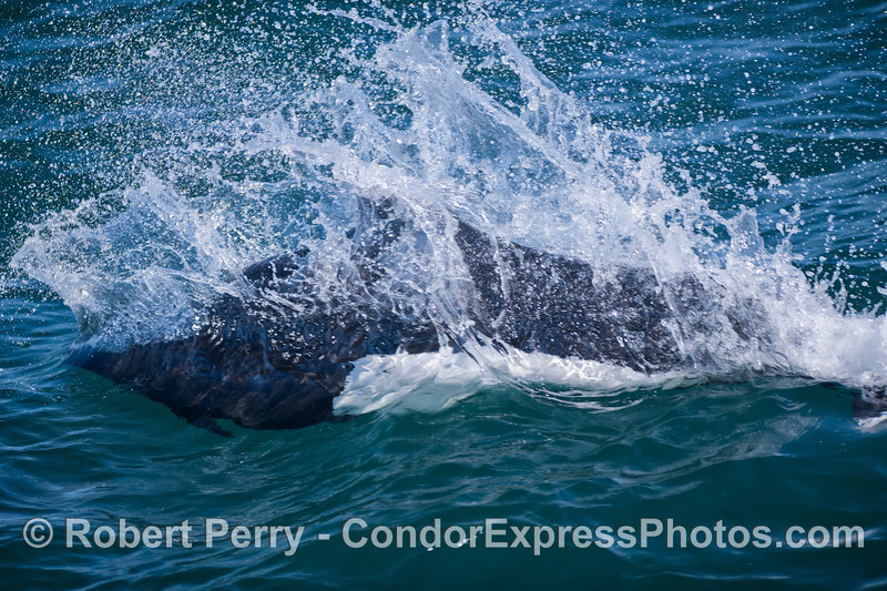 A close look at a Dall's Porpoise (Phocoenoides dalli) as it streaks past the Condor Express.