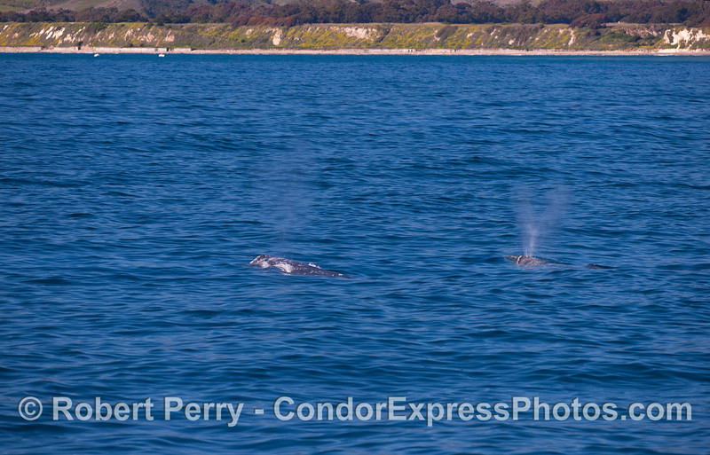 Two Pacific Gray Whales (Eschrichtius robustus) just off the coast of Santa Barbara.