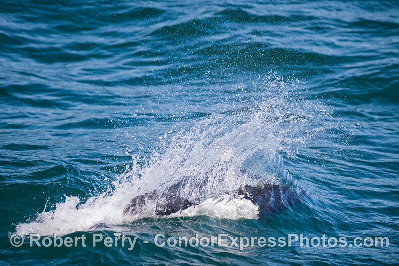 A Dall's Porpoise (Phocoenoides dalli) streaks past the Condor Express.