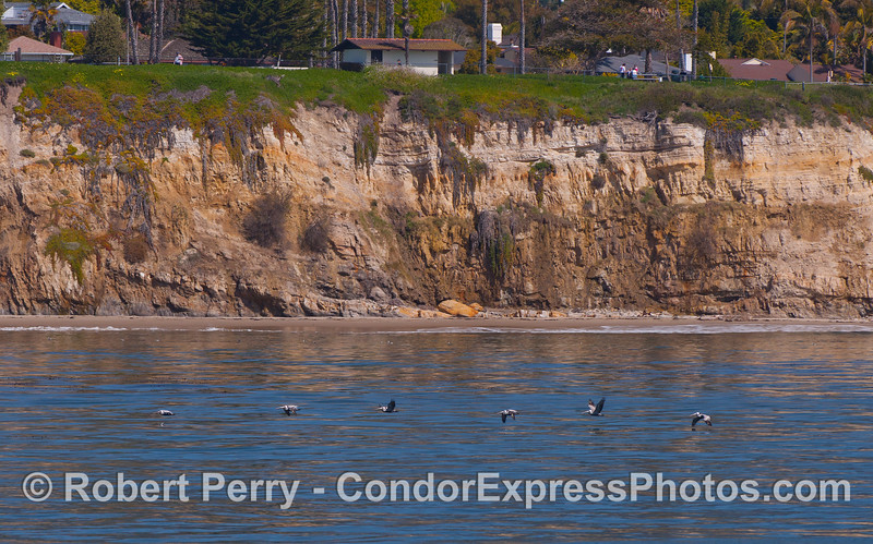 A line of Brown Pelicans (Pelecanus occidentalis).