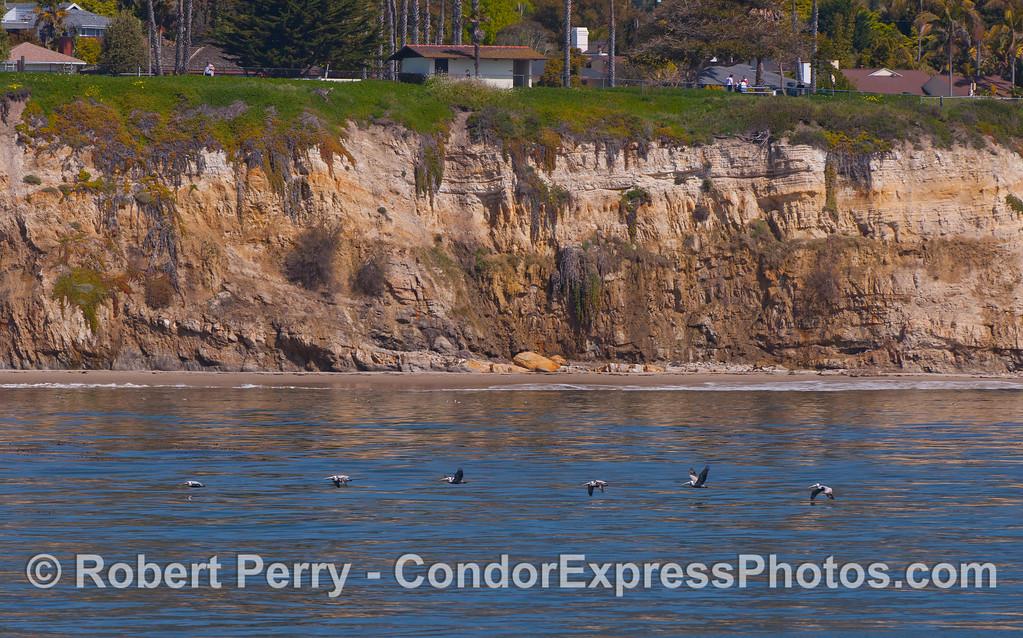 A line of Brown Pelicans (Pelecanus occidentalis).