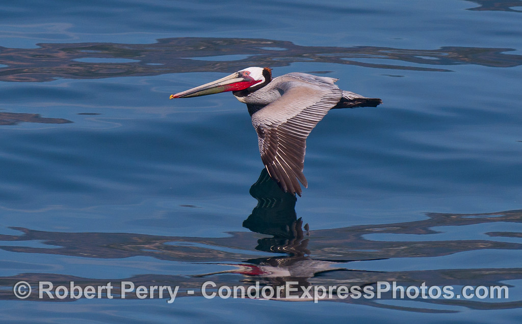 Brown Pelican (Pelecanus occidentalis) soaring over a glasst ocean.