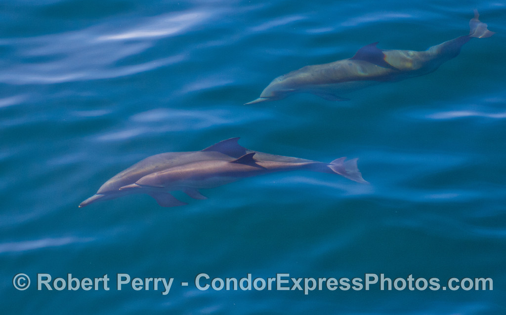 Common Dolphins (Delphinus capensis) - mother and calf.