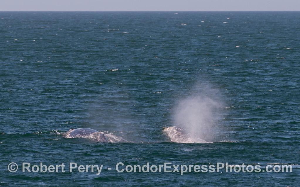 Gray Whales (Eschrichtius robustus)
