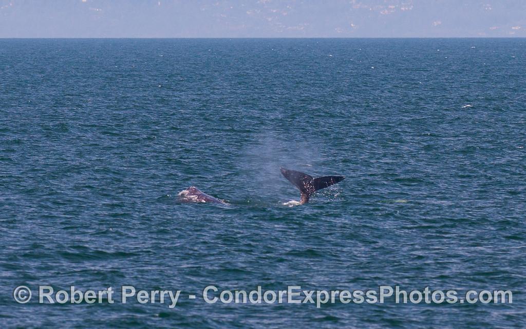 Gray Whales (Eschrichtius robustus).