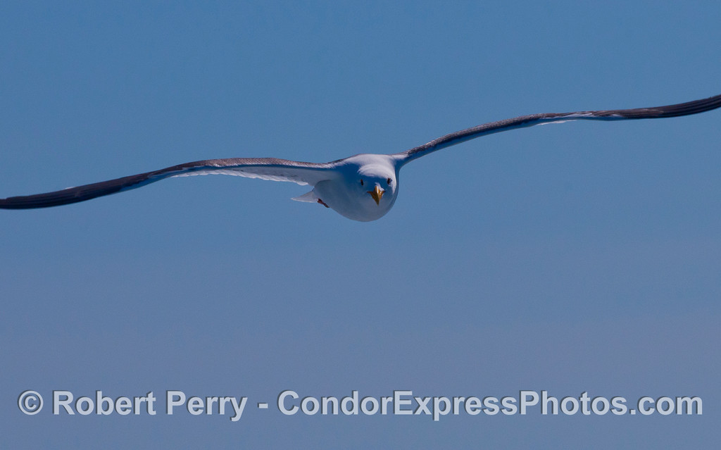 Western Gull  (Larus sp).