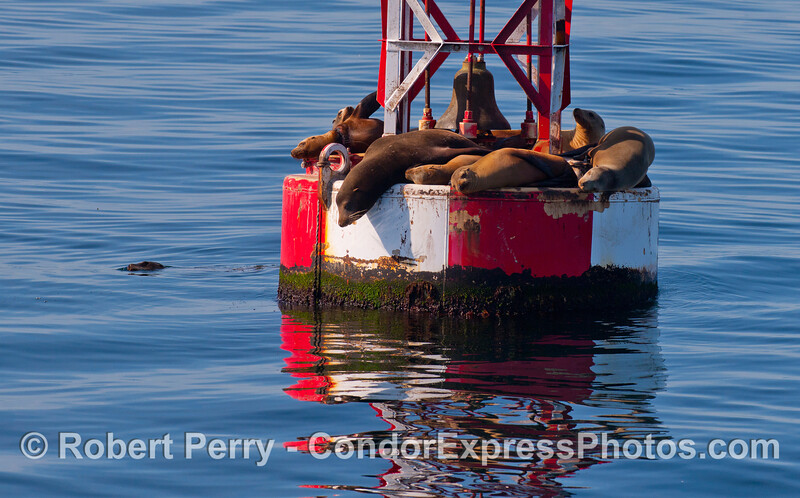 California Sea Lions (Zalophus californianus).