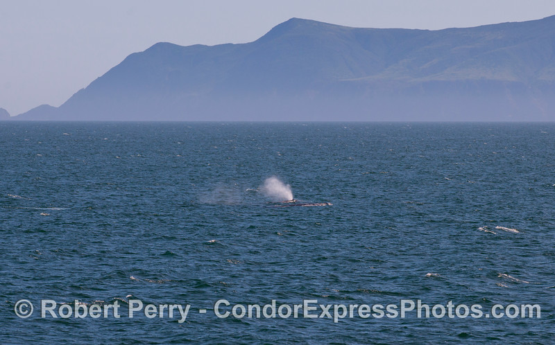 Two Gray Whales (Eschrichtius robustus) with West Anacapa Island in back.