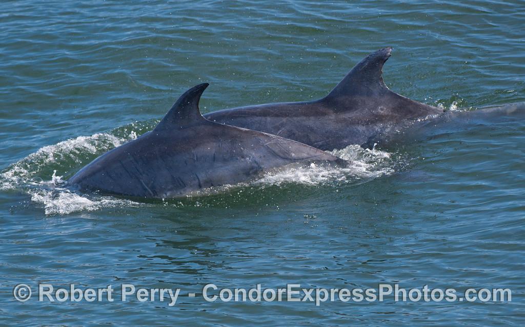 Two Coastal Bottlenose Dolphins (Tursiops truncatus).