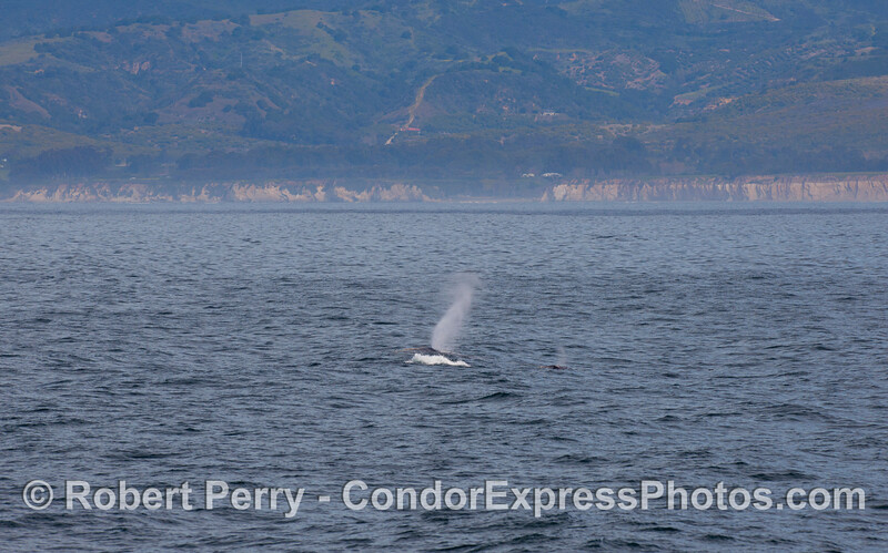 Gray Whale (Eschrichtius robustus) with Santa Barbara coastline in back.