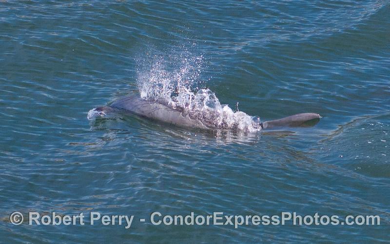 Coastal Bottlenose Dolphin (Tursiops truncatus) spouts.