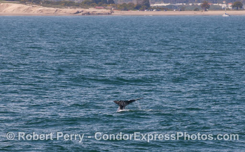 Gray Whale (Eschrichtius robustus) tail fluke near Goleta.