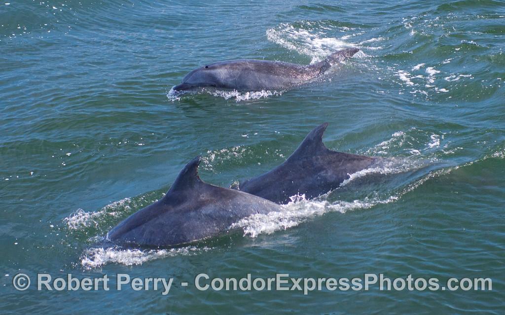 Three Coastal Bottlenose Dolphins (Tursiops truncatus).