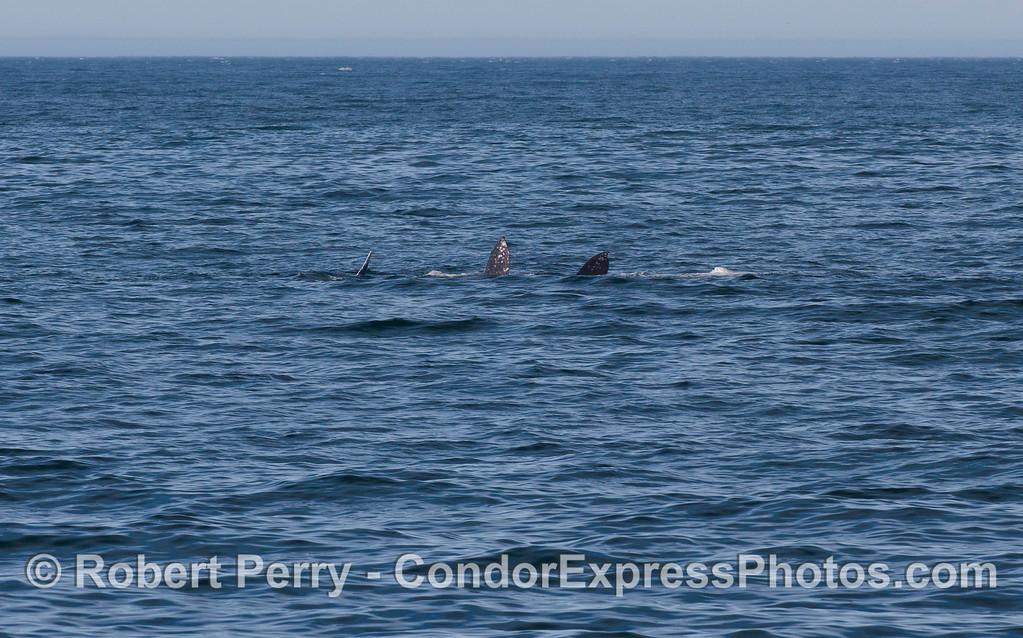 Gray Whale (Eschrichtius robustus) upside down, fluke in the air, near Counter's Point (AKA, Coal Oil Point).