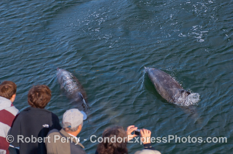 Coastal Bottlenose Dolphins (Tursiops truncatus) and whalers on board the Condor Express.