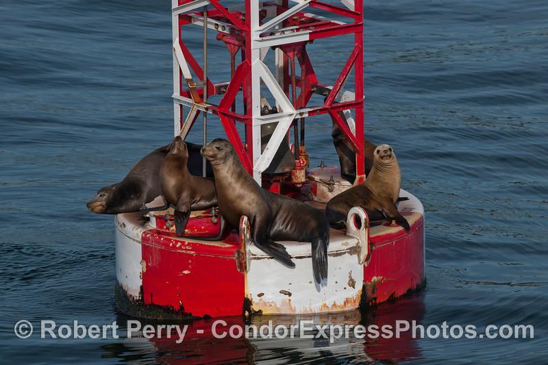 California Sea Lions (Zalophus californianus) on the harbor entrance buoy - Santa Barbara.