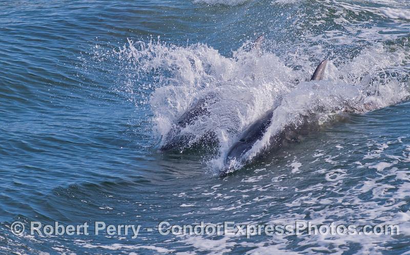 Surfin' Coastal Bottlenose Dolphins (Tursiops truncatus).