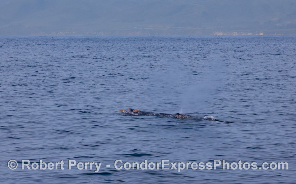 Two Pacific Gray Whales (Eschrichtius robustus).