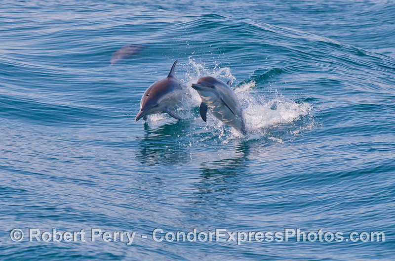 Image 1 of 2: Two Common Dolphins (Delphinus capensis) leaping.