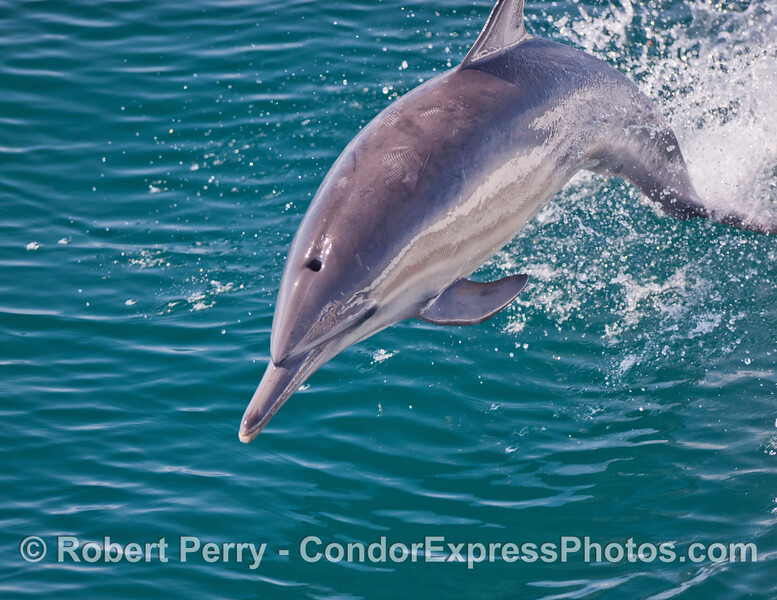 Common Dolphin (Delphinus capensis) leaping.