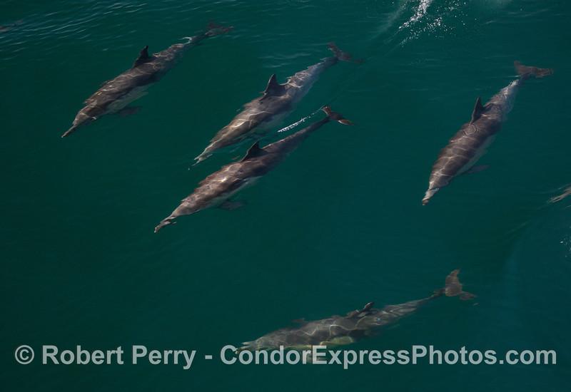 Delphinus capensis 2011 03-12 SB Coast c - 033