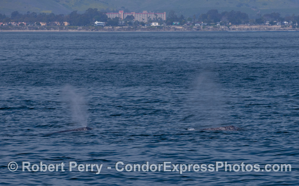 Two Pacific Gray Whales (Eschrichtius robustus) off UCSB.