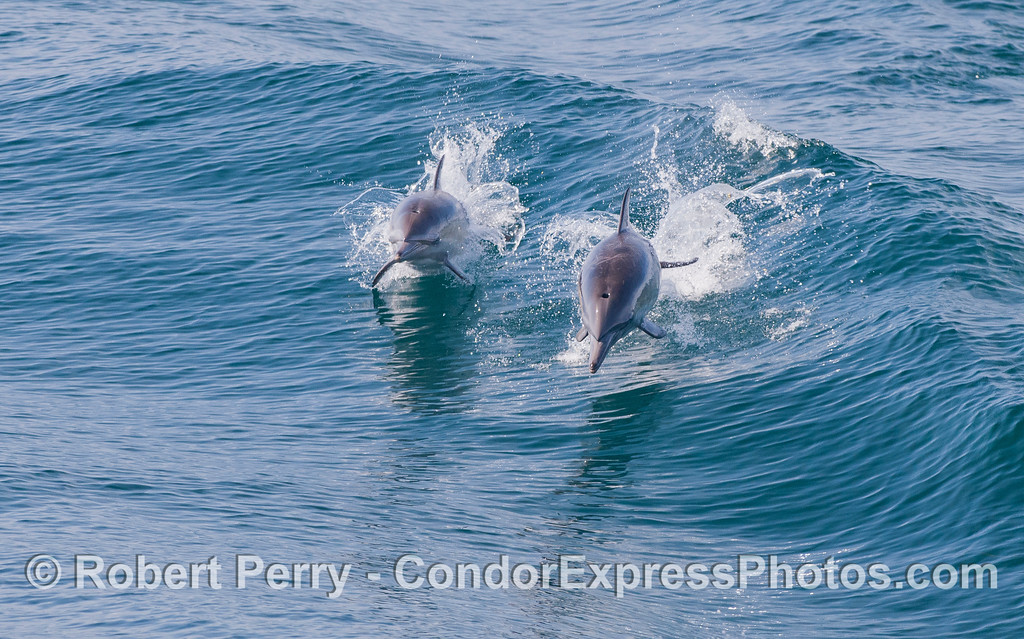 Image 2 of 2:  Two Common Dolphins (Delphinus capensis) leaping.