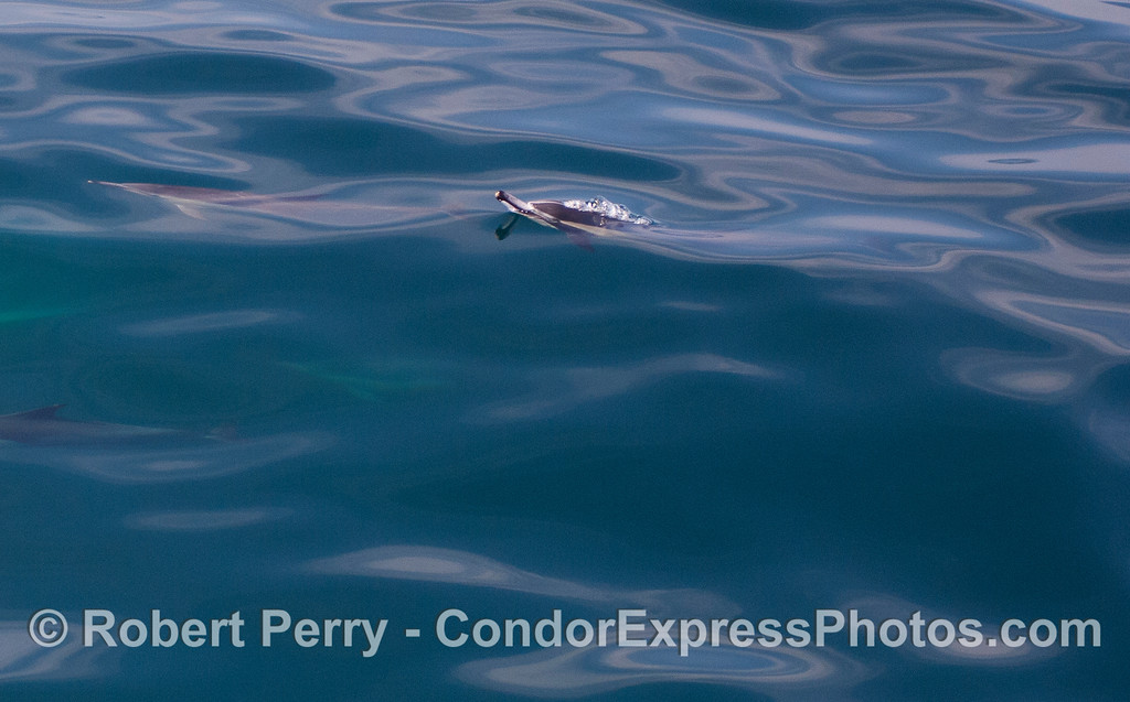 Common Dolphin (Delphinus capensis) pops up for a breath.