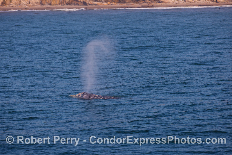 Pacific Gray Whale (Eschrichtius robustus) sends up a tall spout.