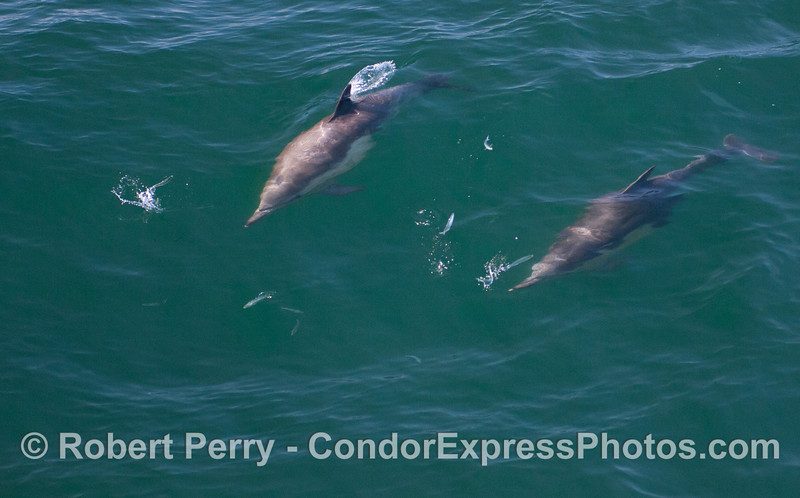 Common Dolphins (Delphinus capensis) chasing Northern Anchovies (Engraulis mordax).