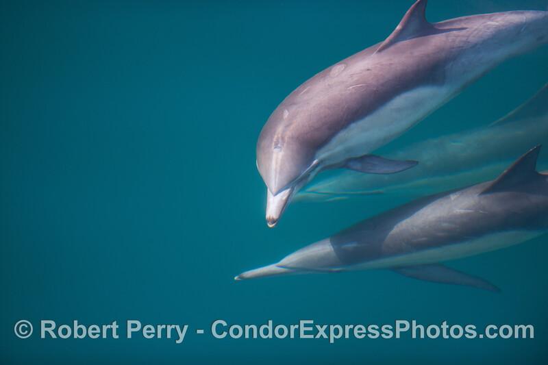 1 Delphinus capensis 2011 03-12 SB Coast - 034