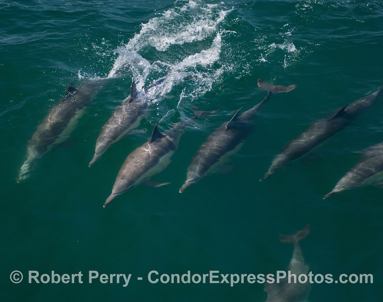 Common Dolphins (Delphinus capensis) in fairly clear water.