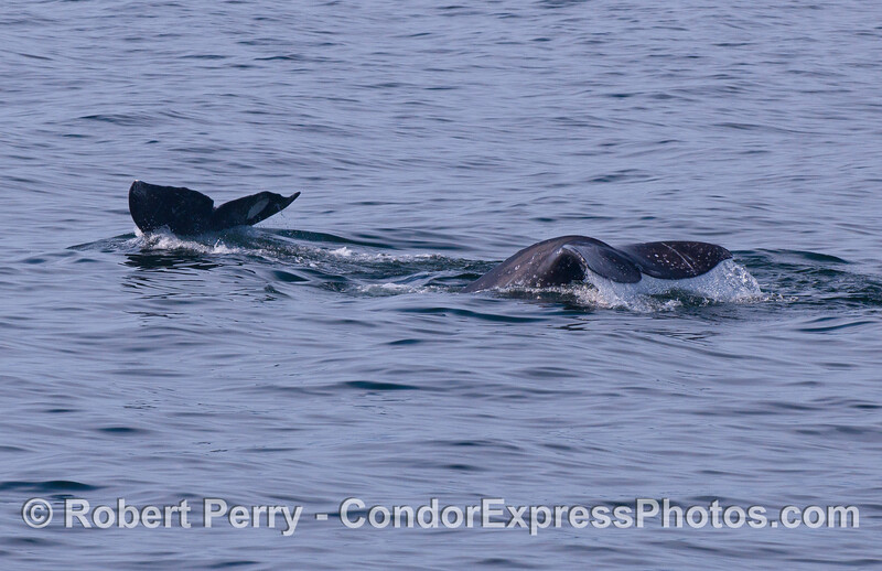 Image 2 of 2:  twin Pacific Gray Whale (Eschrichtius robustus) tail flukes.