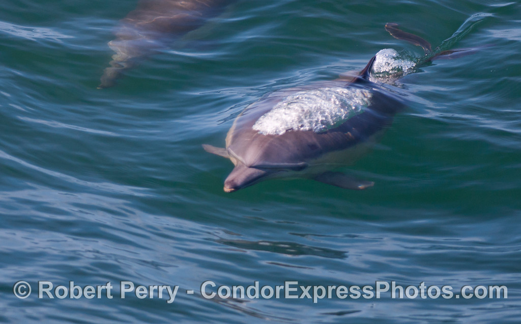 A Common Dolphin (Delphinus capensis) bubbling up.