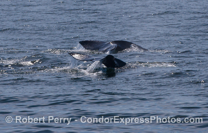 Image 1 of 2:  twin Pacific Gray Whale (Eschrichtius robustus) tail flukes.