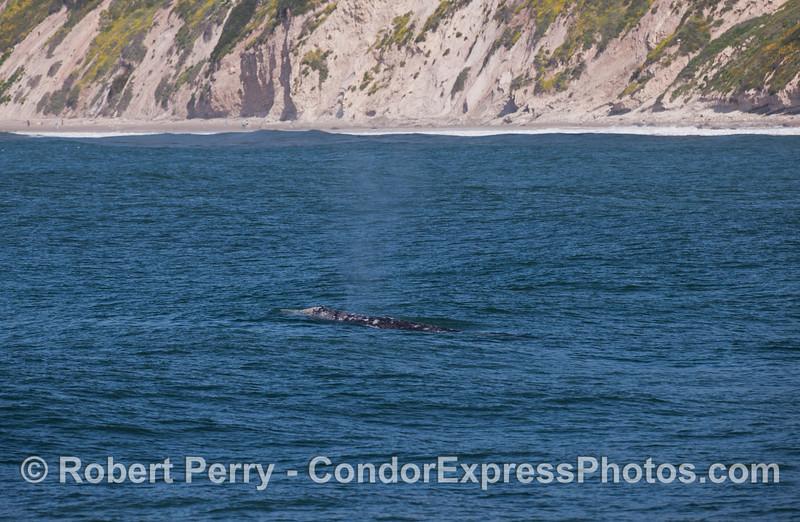 Pacific Gray Whale (Eschrichtius robustus) near the beach.